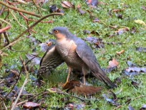 A male Sparrowhawk with his kill (Photo Credit: Darkeyedboy).