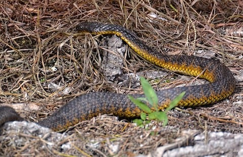 A tiger snake in the wetlands.